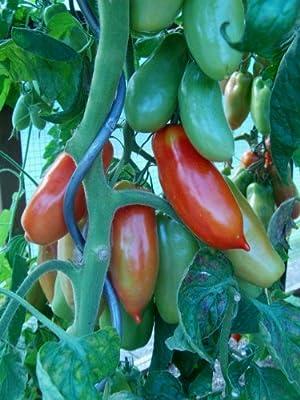 Flaschentomate 'San Marzano' 10 Samen von Samenchilishop - Du und dein Garten