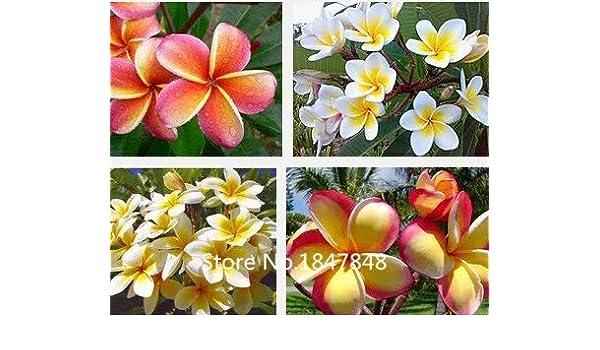 Pianta da giardino Heirloom100 Semi sacco Plumeria semi Colori Fiori semi Sementi freschi di alta qualit/Ã/ Plumeria Rubra Frangipani