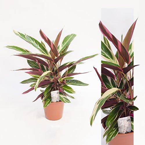 inter-flores-calathea-rufibarba-tropistar-60cm-alto-planta-oficina-plantas-habitacion