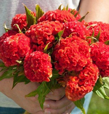 Legend Online Garten Samen Blume Celosia Chef Persimmon DGS1990PV (rot) 100 offen befruchteten Samen - Persimmon Blume