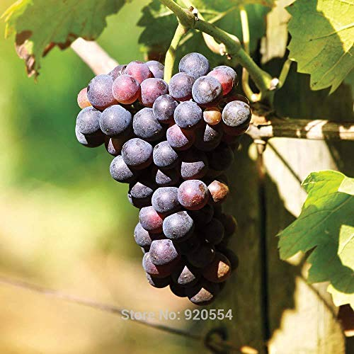 GEOPONICS 50pcs / lot Dornfelder ifera Samen Obst Bonsai Samen DIY # Hausgarten G03