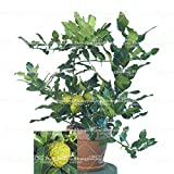 20pcs / bag Kaffernlimette Samen, Kalk Samen, (Citrus aurantifolia), Bio-Obst Samen, Früchte BONSAIS Zitronenbaum für den Garten zu Hause