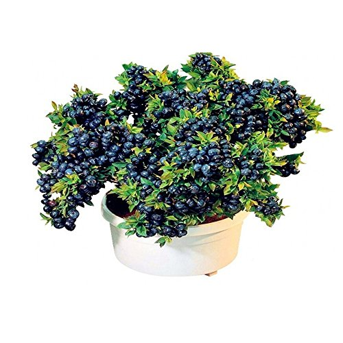 Bornbayb Blueberry Seeds Bonsai Fruchtsamen für Indoor Outdoor Pflanzen 100 Teile/satz
