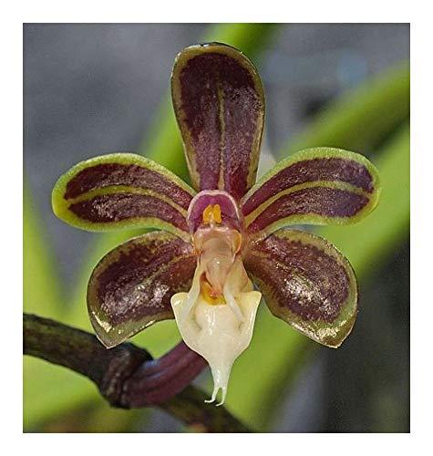 Cleisostoma birmanicum - orchidées - 100 graines