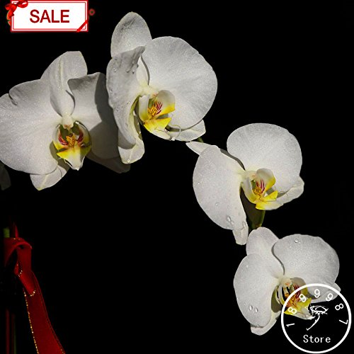 100 pcs Graines Poinsettia, Euphorbia pulcherrima, les plantes en pot, rares plantes à fleurs graines pour hjome décoration