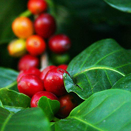 Coffee Plants | Gourmet Coffee Cafe