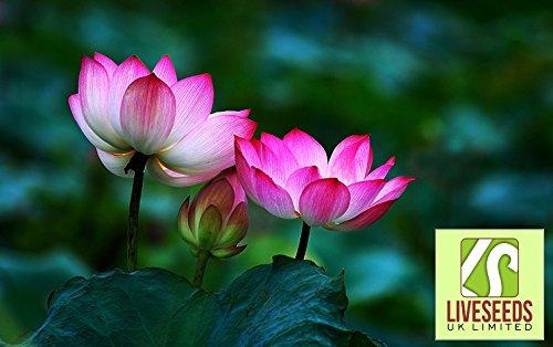 liveseeds-ciotola-di-loto-giglio-di-acqua-di-fiori-bonsai-lotus-due-colori-5-semi-freschi-labbra-vio