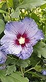 Hibiskus / Garteneibisch 'Blue Bird' - (Hibiscus syriacus 'Blue Bird') Containerware 40-60 cm