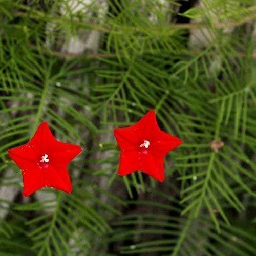 Seekay Morning Glory Ipomoea Quamoclit Rot - Ca. 100 Samen - Cypress Rebe -