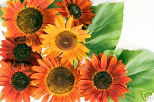 Portal Cool Die Samen aus organischen Sonnenblumen 7778Mg Vielfalt Mix ~ lockern die Vögel und Bienen ~ Ornament