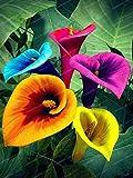 Pinkdose Blumenzwiebeln, bunt, Calla-Lilie, für echte Calla-Lilien, symbolisiert Elegante und edle Blumen, Calla Lily Bonsai, 11 Stück