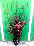 "Roter Fächer-Ahorn, Höhe: 130-140 cm, rote Blätter, Acer ""Sceeters Broom"""