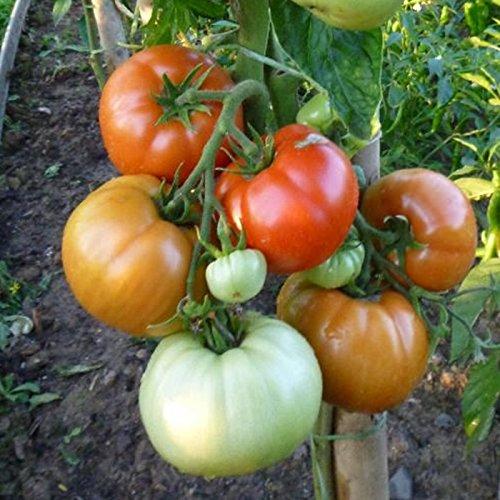 10 Samen Fiorentino Tomate – gerippte Fleischtomate, italienische Sorte