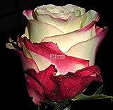 AIMADO Rose Bunt Pflanze Garten 100 Stücke/Beutel Nette entzückende Blumen wohlriechende Samen wohlriechende Blüte Rosen Samen