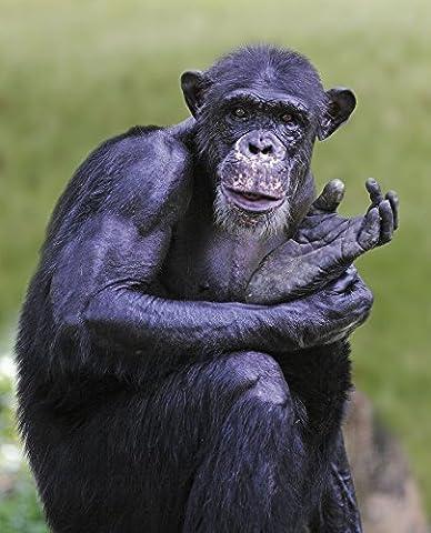 Chimpanzee Posing While Holding his Leg Animal Home Decor Art Wall Poster 33 X 40 cm