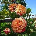 Rose Aloha® Kletter®Maxe (im grossen Container) - Kräftig entwickelte Pflanze im 6lt-Topf von Lubera AG auf Du und dein Garten