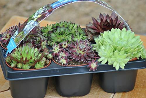 Sempervivum,Hauswurz, 6 schöne Pflanzen,9er Töpfe im Träger,verschiedene Sorten - Schöne Pflanzen