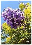 TROPICA - Albero glicine (Jacaranda mimosafolia) - 50 Semi- Mediterraneo