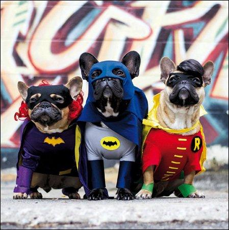 Fotografien Grußkarte (wdm2936)–blanko/Geburtstag–Superhero Hunde–Französische Bulldogge Batman und Robin–Diese Looks Like A Job für...–Gerahmt ()