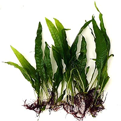 10 Java Fern Microsorium pteropus Live Aquarium Plants Aquatic Plants For Your Fish Tank