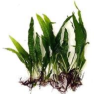 10 Java Fern Microsorium pteropus Live Aquarium Plants Aquatic Plants For Your Fish Tank