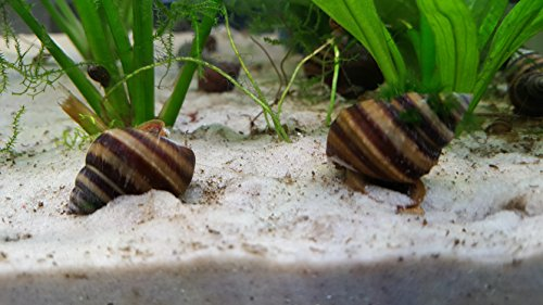 Piano/ Pinselalgen Schnecke - Taia naticoides ( 5 Tiere )
