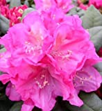 Yakushima Alpine Rose Rhododendron Yakushimanum Polaris 30 Inches High In A 4 Liter Plant Container