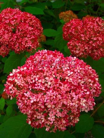 Shopmeeko Samen: Große Verkaufs-20pcs / bag Hydrangea Bonsai Mischfarbe Japan Hortensie Bonsai Viburnum Topfpflanze für Haus & amp; ! Garten, SM2ZDH: 14