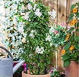Adolenb Seeds House-10 Pcs Graines de jasmin Rare Jasmin Graines Bonsaï Plantation Fleur sain et délicieux Grains de Fleurs Sauvages