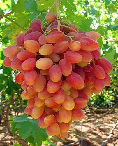 Pinkdose 50 pz colore raro uva bongsai pianta sana e organica frutta plang crescita naturale uva perenne piante da esterno per giardino: 4
