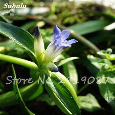 Haute qualité bonsaïs 100 Pcs Largeleaf gentiane Graines vivace Fleur bleue Graine Blooming Plantes Diy jardin Ménage 12