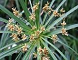 Zyperngras, Zypergrases - Cyperus alternifolius - Samen
