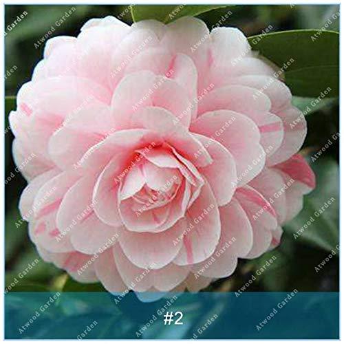Galleria fotografica Fash Lady ZLKING 10 PCS Camellia Flower Bonsai Piante per la casa Giardino Bellissimi fiori naturali Piante perenni profumate: 2
