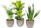 3er-Set Zimmerpflanzen Premium - Bergpalme, Geigenfeige, Bogenhanf - Höhe ca. 40 cm, Topf-Ø 9&12 cm