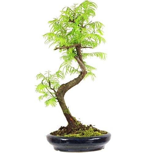 metasequoia-bonsai-10-ans-40cm
