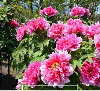 Pinkdose Hot vente 10pcs Couleurs mélangées Pivoine Fleur spéciale Chine Pivoine bricolage jardin maison Livraison gratuite: 23