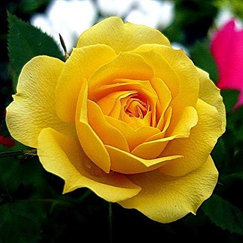 Go Garden 20 graines: Rose Morning Sun Fragrant Bed Jardin des Plantes Décor fleurs 20, 200 ou 2000 graines