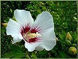 Portal Cool 4 schöne Pflanzen Hibiskus. 1 M