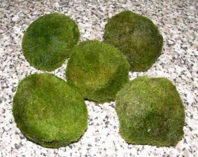 5 Mooskugeln XXL 7-10 cm Cladophora Aegagrophila