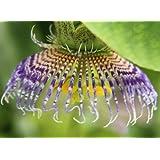 Passiflora maliformis - - 10 semillas