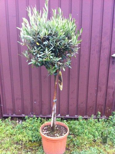 Olea Europaea, Olivenbaum, Hochstamm, 100cm