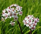 2er-Set - Darmera peltata - Peltiphyllum peltatum - Schildblatt, rosa - Wasserpflanzen Wolff