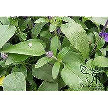 Labiatae Planta Salvia japónica Semillas 100pcs, como es natural las semillas de flor de la