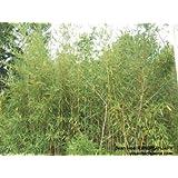 Bambusa arundinacea 1,15 grammes ~ environ 100 graines/seeds/samen/zaden