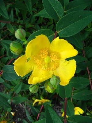 Johanniskraut Hypericum Hidcote Gold 30 - 40 cm hoch im 3 Liter Pflanzcontainer von Plantenwelt Wiesmoor - Du und dein Garten