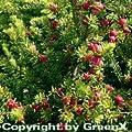 Schnee Steineibe 20-25cm - Podocarpus nivalis von Baumschule - Du und dein Garten