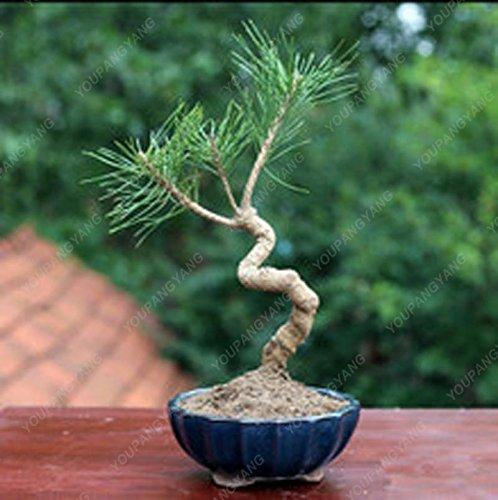 50 graines Arbre à feuilles persistantes Rare épinette bleue du Colorado Graines PICEA PUNGENS GLAUCA de bonnes pour la culture en pot planteurs de pot de fleur pourpre