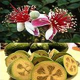Portal Cool Feijoa sellowiana, Acca Pineapple Guava Goyave Ananas Guave Guayabo, 20 Samen