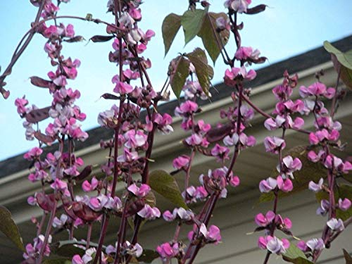 Pinkdose® purple hyacinth bean- 10+ seeds, dolichos, lablab, great on trellis, resistente alla siccitÃ