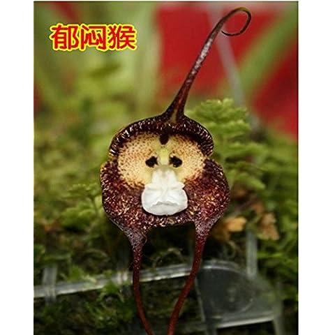 Semi 100pcs perenne Monkey Face dei fiori per le piante in vaso bonsai strumento terrazzo cortile giardino giardino